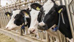 Ette ithalat hastalıklı hayvanların ülkemize girişiyle sonuçlanıyor: İspanya'dan sahte sağlık sertifikası ile ithal edilen canlı hayvanlara ne oldu?